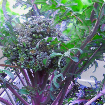 Purple Peacock Broccoli Seeds