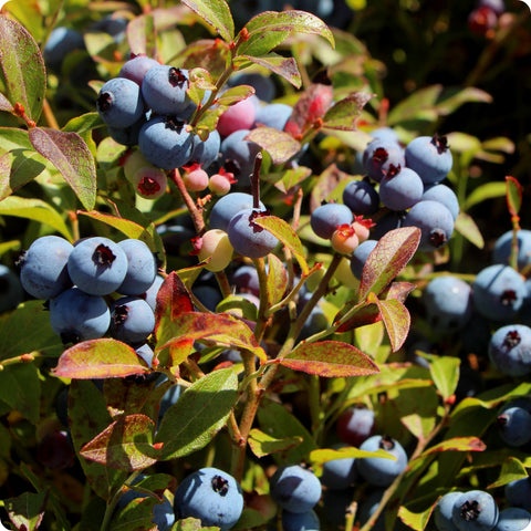Blueberry Plants, Low Bush Wild - Brunswick