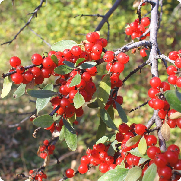Soap Berry Seeds, Buffaloberry