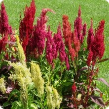 Amaranth Seeds - Prince Feather