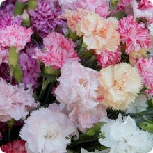 Dianthus Seed - Chabaud Picotée Mix (Carnation)