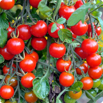 Sweetie - Cherry Tomato Seeds