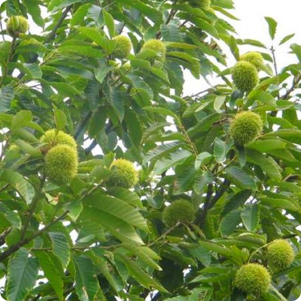 Chestnut Seeds - Chinese Chestnut
