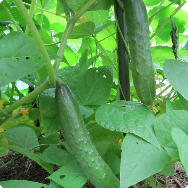 Japanese Climbing Cucumber Seeds