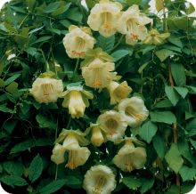 Cup & Saucer Vine Seeds - Cathedral Bells