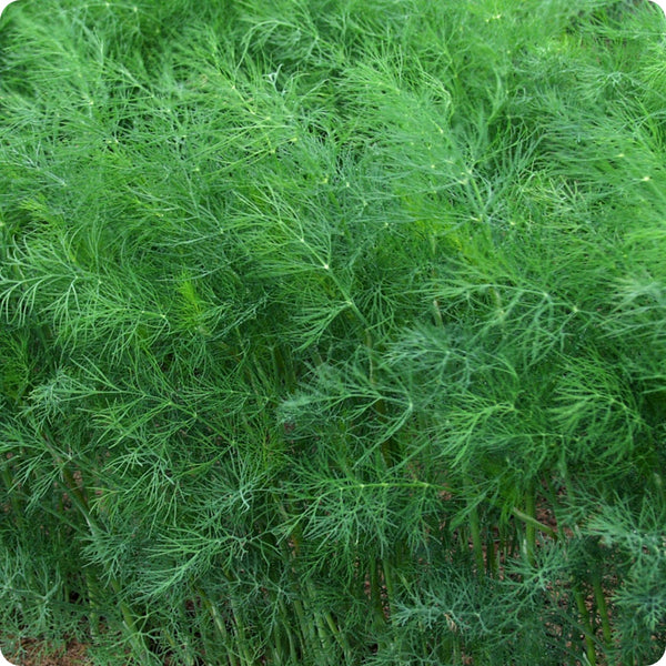 Dill Seeds - Fernleaf