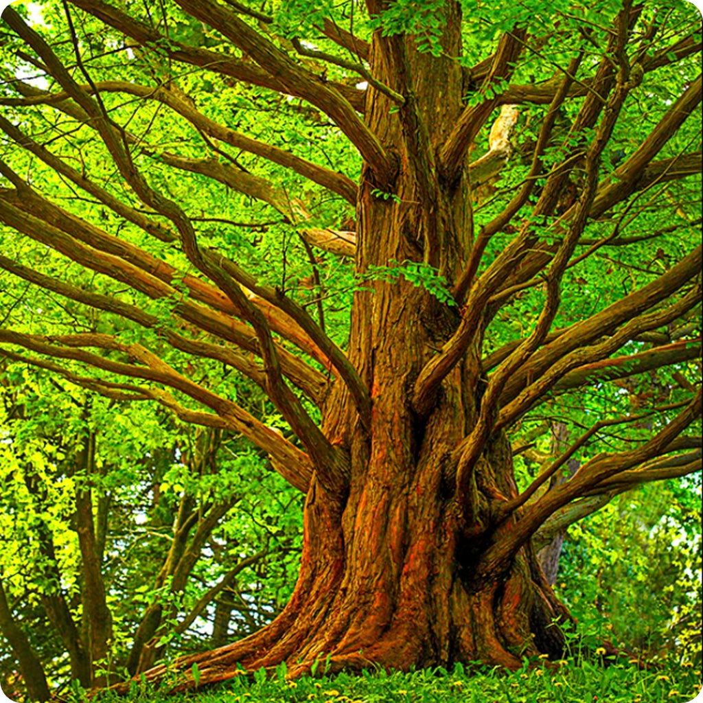 Dawn Redwood Tree Seeds Heirloom Untreated Non Gmo From