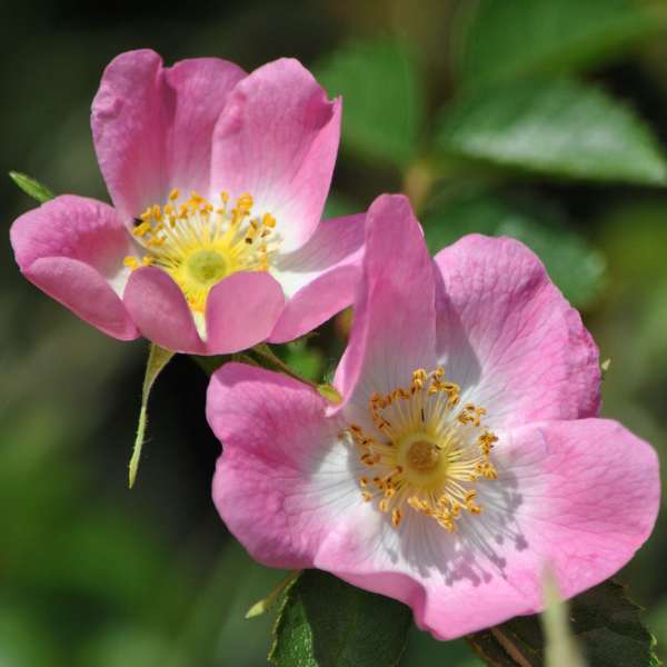 Rose Seeds - Dog Rose