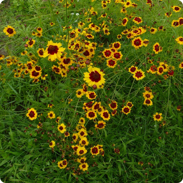 Dyer's Coreopsis Flower Seeds
