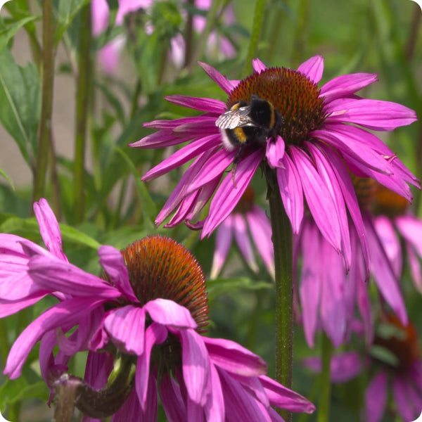 Echinacea ( Purple Cone Flower ) Seeds