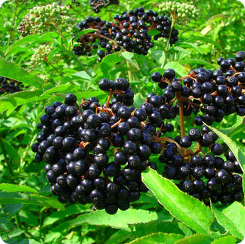Elderberry Plants - Scotia