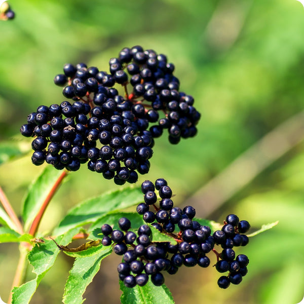 Elderberry Seeds