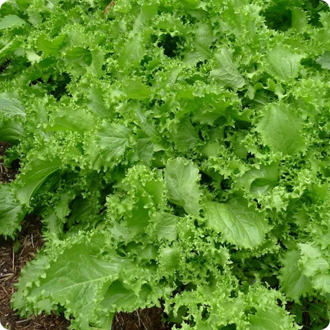 Endive Seeds - Green Curled