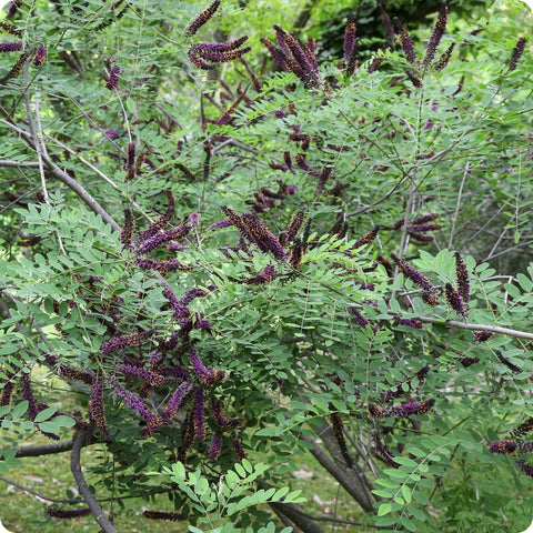 Indigo Bush Seeds - False Indigo