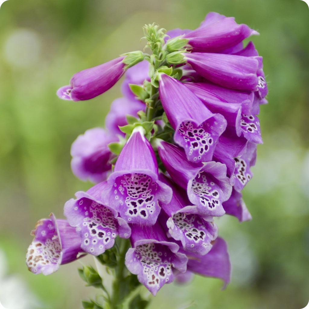 Foxglove Seeds Purple Faerie Glove Heirloom Untreated