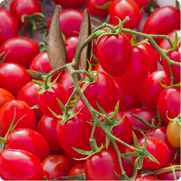 Gardeners' Sweetheart - Cherry Tomato Seeds