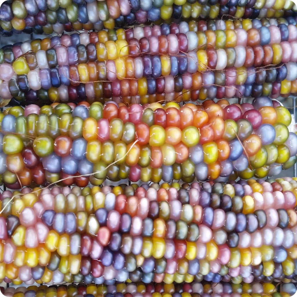 Corn Seeds Glass Gem Heirloom Untreated Non Gmo From