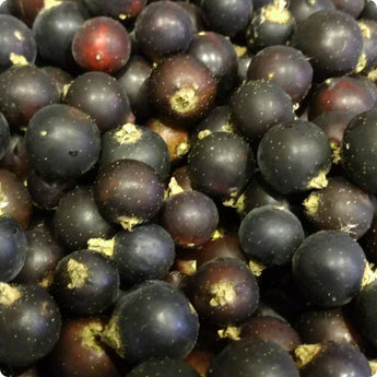 Gooseberry Plants - Black Velvet