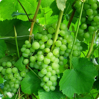 Grape Vines, Green - Adalmiina