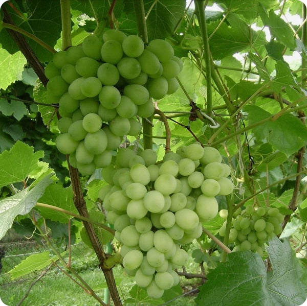Grape Vines, Green - Brianna