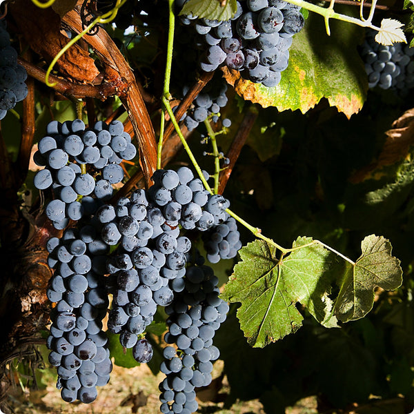 Grape Vines, Blue - Sovereign Coronation