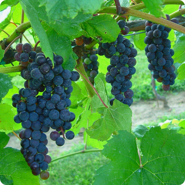 Grape Vines, Blue - Trollhaugen