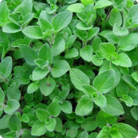 Oregano Seeds – Greek