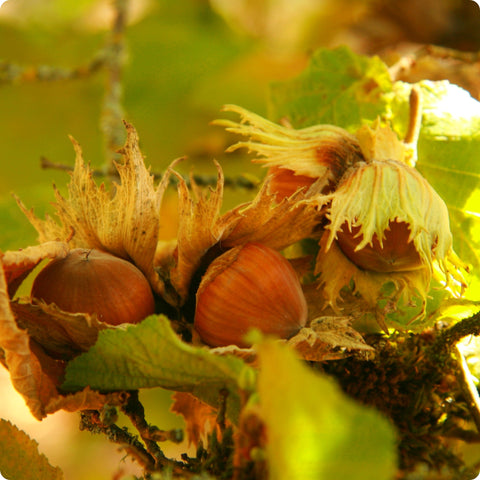 Hazelnut Seeds - Beaked