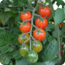 Isis Candy Cherry Tomato