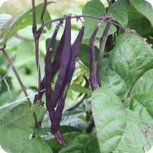 Pole Bean - Purple Peacock