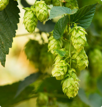 Hops Vines - Cascade