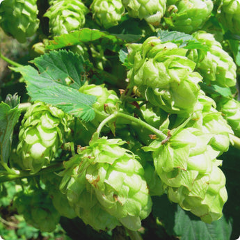 Hops Vines - Mount Hood