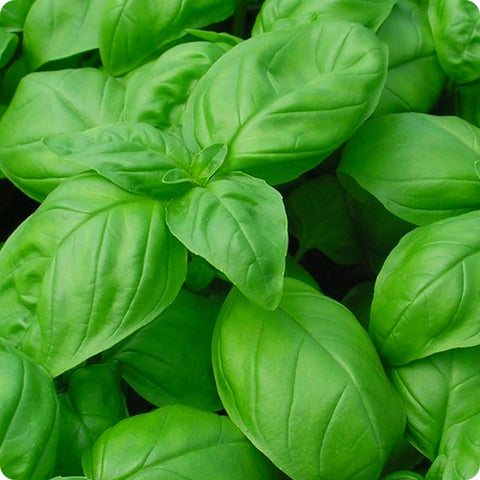 Basil Seeds - Italian Large Leaf