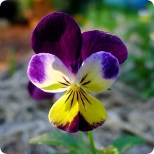 Pansy Seeds - Jolly Jump-Ups (Helen Mount Heirloom)