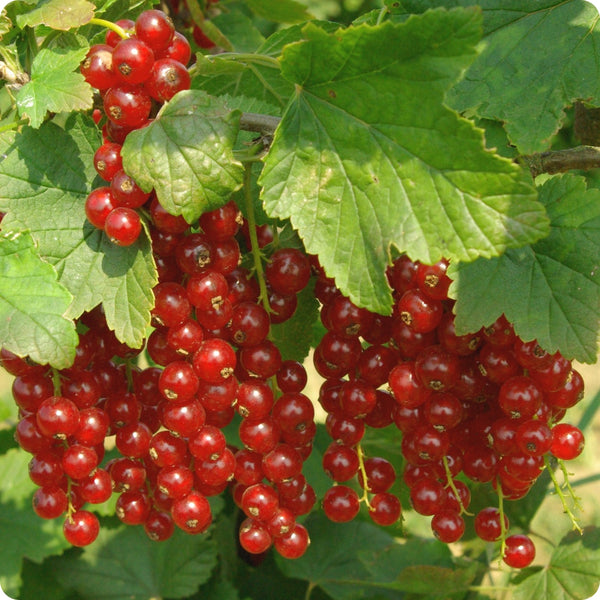 Currant Plants, Red - Jonkheer Van Tets