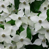 "Dogwood Seeds, Kousa ""Milky Way"""