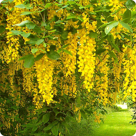 Golden Chain Tree Seeds, Common (Laburnum anagyroides vulgare)