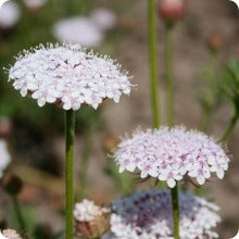 Lace Flower Seeds - Pink Didiscus