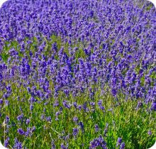 Lavender - Old-Fashioned English Lavender (Vera)