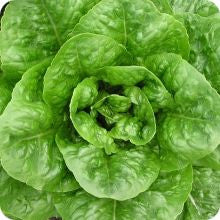 Paris Island Cos Lettuce