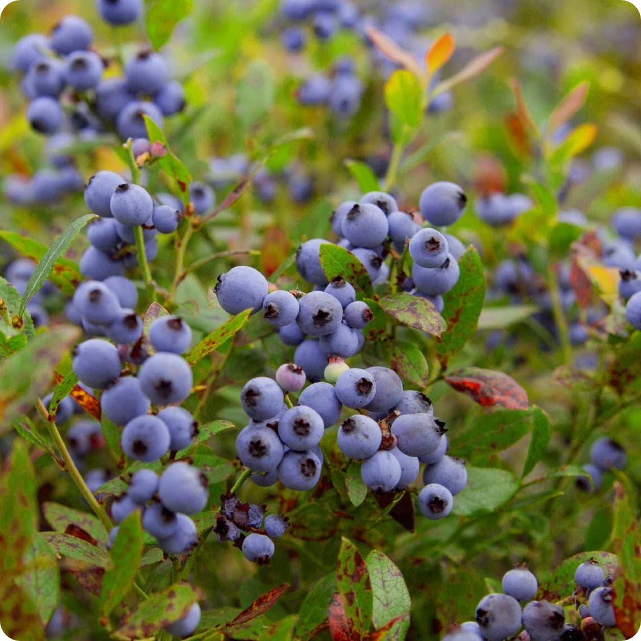 Image result for wild blueberries""