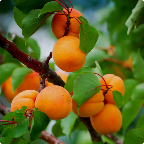 Apricot Seeds, Manchurian Apricot