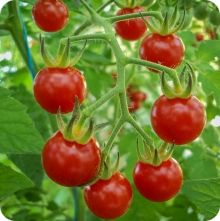 Matt's Wild Cherry Tomato Seeds