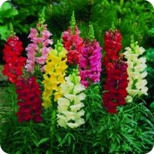 Snap Dragon Flower Seeds - Maxi Mix