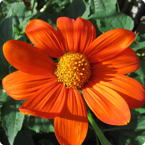 Sunflower Seeds - Mexican Sunflower