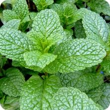 Mint Seeds - Common Mint