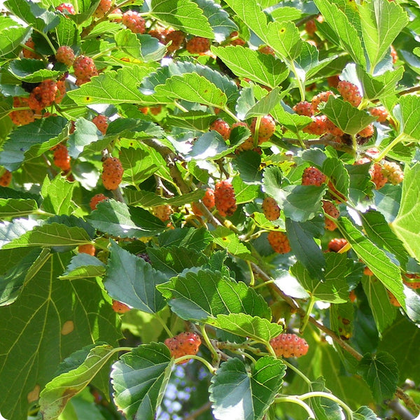 Mulberry Seeds - Red