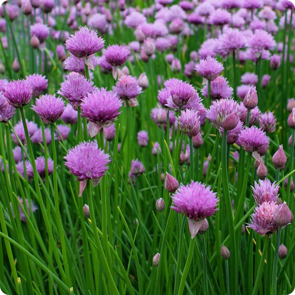 Chive Seeds - Onion Chives