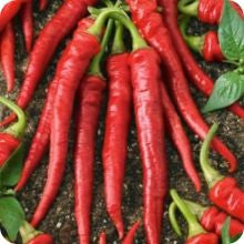 Long Thin Red Cayenne Hot Pepper