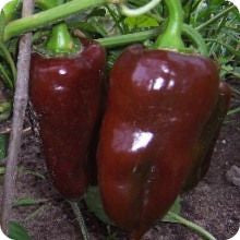 Sweet Chocolate Pepper